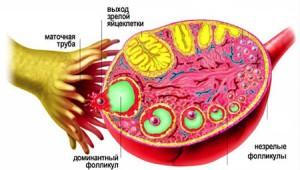 Сперматазоиды добираются до яйцеклетки по ткани