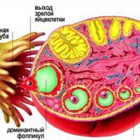 Продолжительность жизни яйцеклетки после овуляции